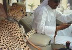 cheetah in dubai